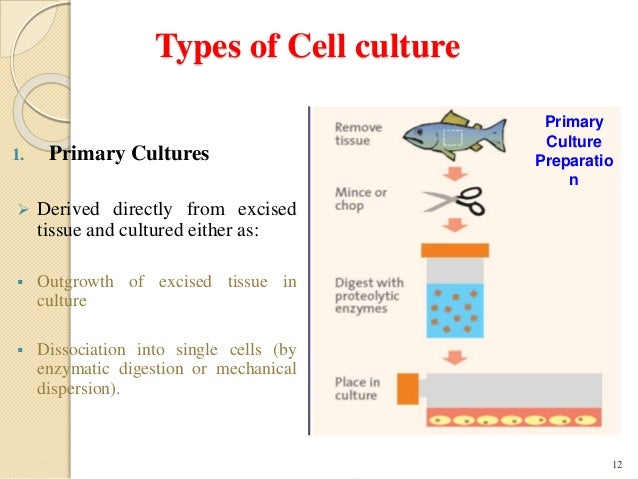 primary tissue culture Isolation of primary epithelial cells   mince tissue with 2 x sterile scalpel for approximately 10-15 minutes  culture: in growth medium.