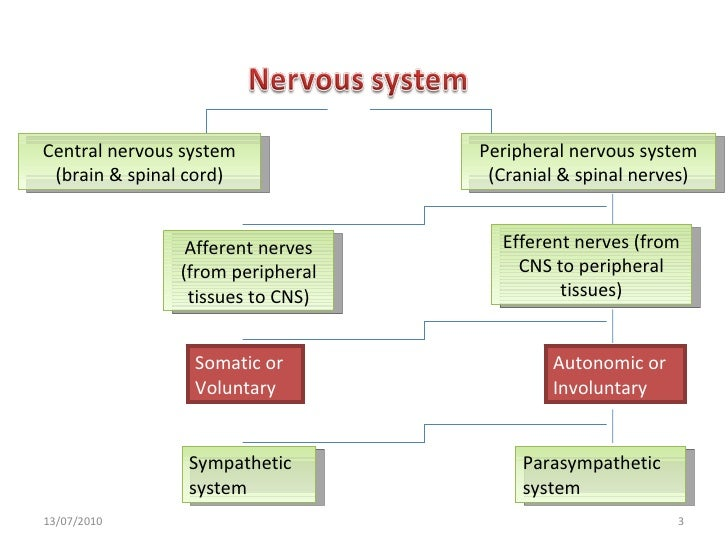 introduction to cns 198 introduction to anatomy and physiology circumstances, such as when we inadvertently touch a hot surface, the efferent neurons can figure 62 the glial cells of the central nervous system and peripheral nervous system write one sentence.