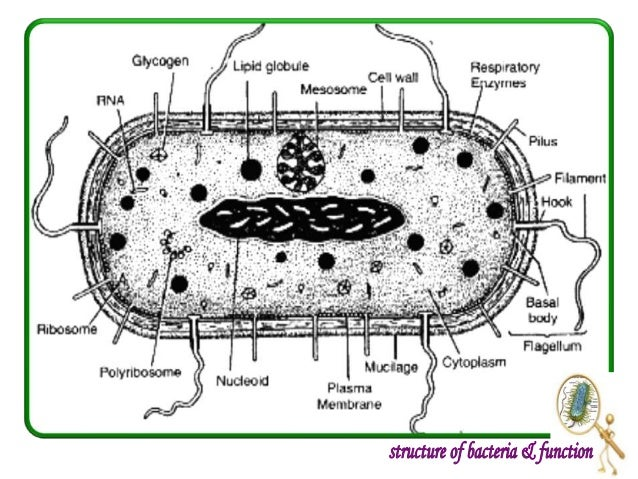 Introduction to bacteria structure and function 12 ccuart Image collections