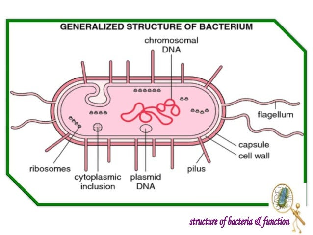 Bacteria function diagram diy wiring diagrams introduction to bacteria structure and function rh slideshare net bacteria diagram unlabeled animal diagram ccuart Image collections