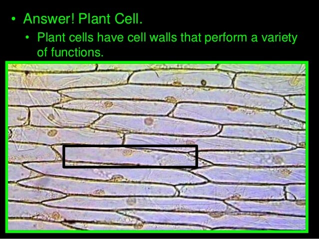 Introduction to cells cheek cell and onion cell lab lesson powerpoi copyright 2010 ryan p murphy 40 answer a plant cell ccuart Image collections