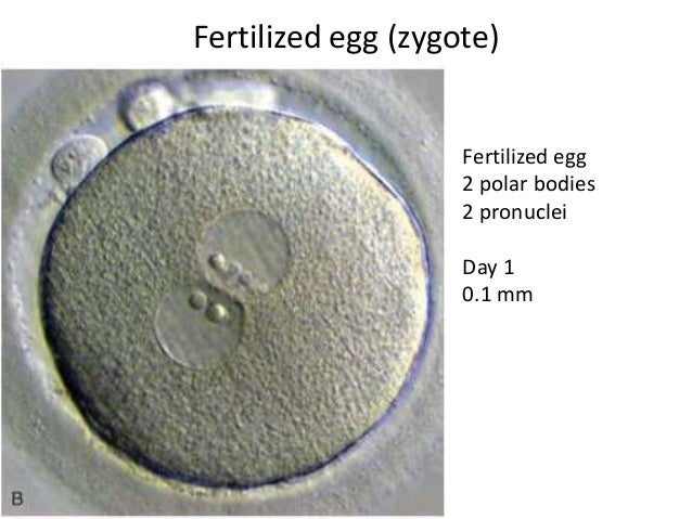 Image result for zygote pro nuclei