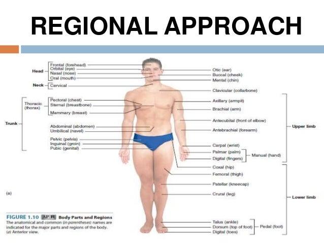 General Body Regions Diagram Diy Enthusiasts Wiring Diagrams