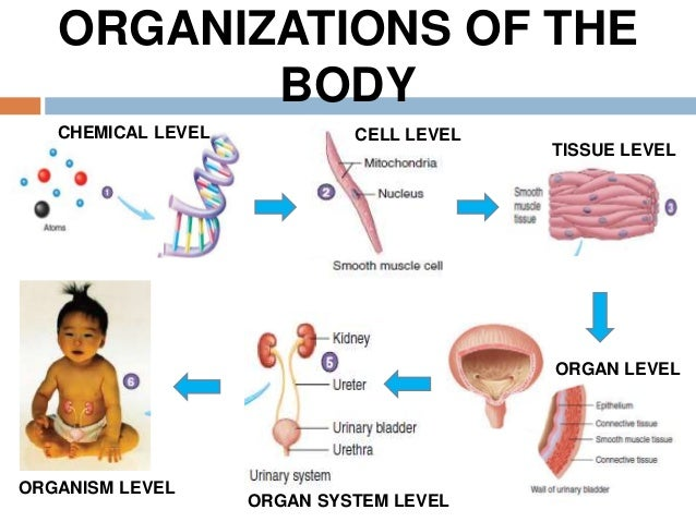 4thoraciccavitygraysppt in addition Vibrational Sound Meditations besides 2 besides 8671553 likewise R10 33 Anatomy09. on body cavities and organs in them
