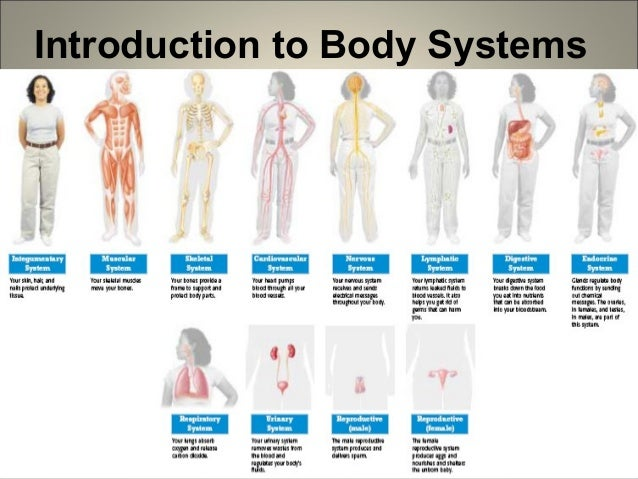 introduction to human body systems, Human Body
