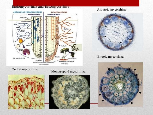 introduction to mycorrhiza