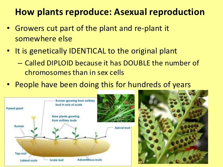 What are two ways plants can reproduce asexually