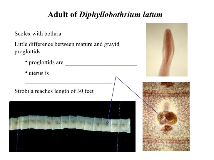 an introduction to tapeworm infestation A tapeworm infection in humans, is usually treated with an oral medication called praziquantel (biltricide), which will kill the tapeworm and expel it from the host's body through the feces.