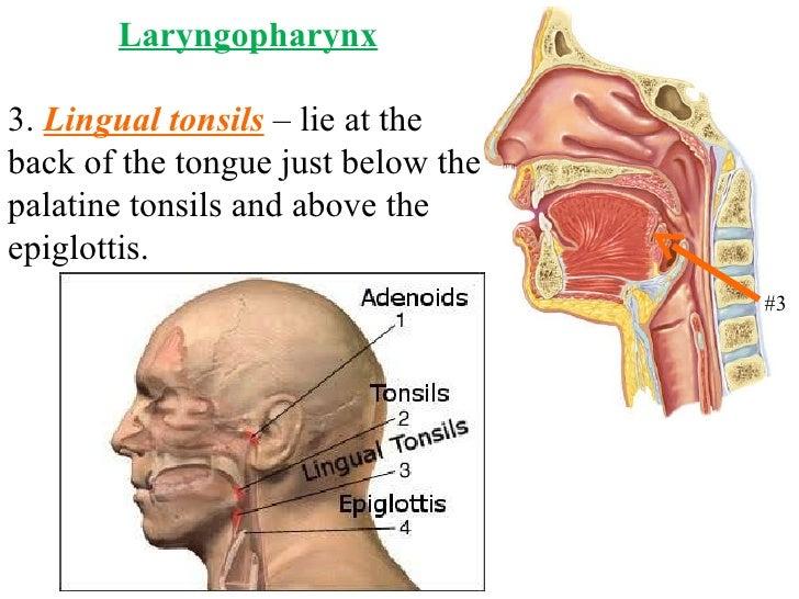 Pharyngeal Lingual Tonsils Diagram - Electrical Work Wiring Diagram •