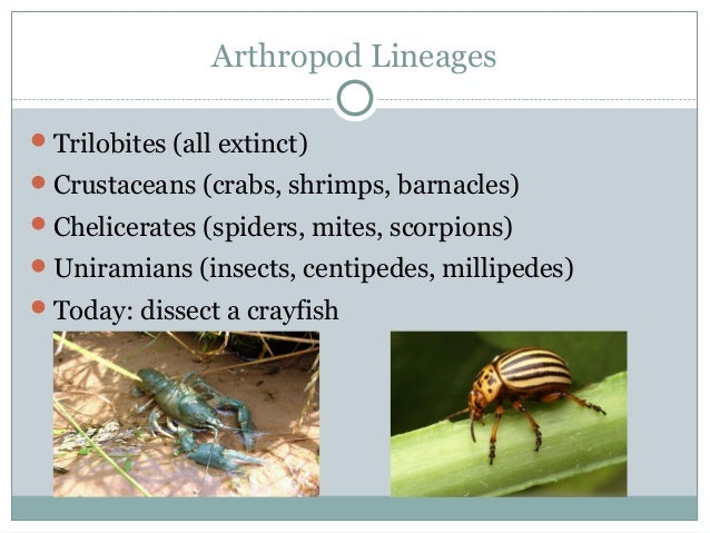 Arthropod Lineages Trilobites (all extinct) Crustaceans (crabs, shrimps, barnacles) Chelicerates (spiders, mites, scorp...