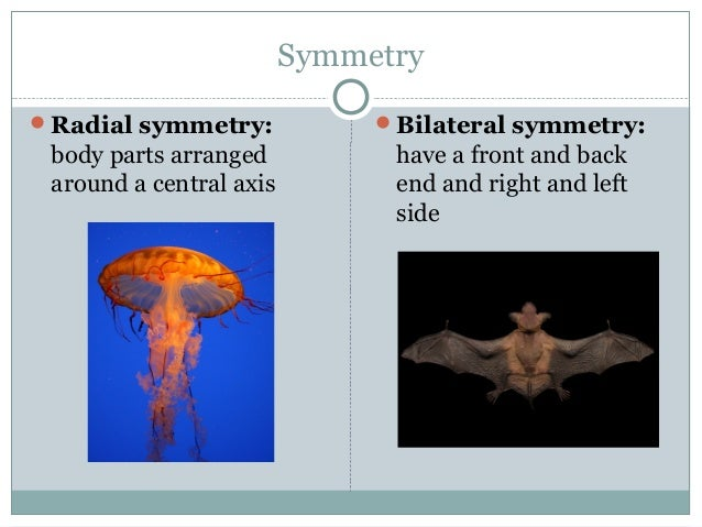 Symmetry Radial symmetry: body parts arranged around a central axis Bilateral symmetry: have a front and back end and ri...