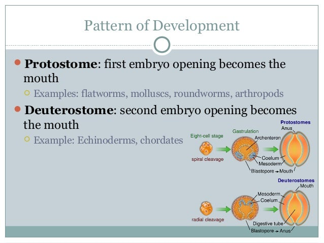 Pattern of Development Protostome: first embryo opening becomes the mouth  Examples: flatworms, molluscs, roundworms, ar...