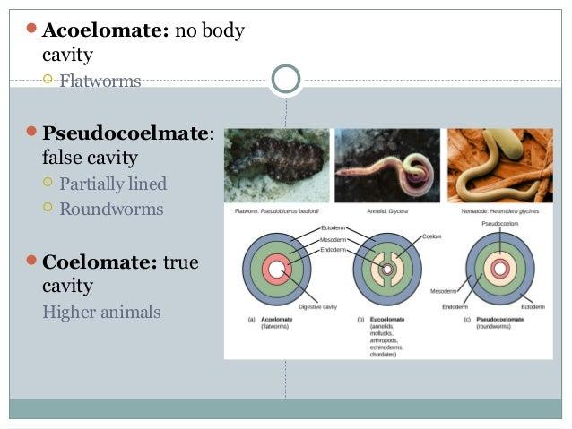 Acoelomate: no body cavity  Flatworms Pseudocoelmate: false cavity  Partially lined  Roundworms Coelomate: true cavi...