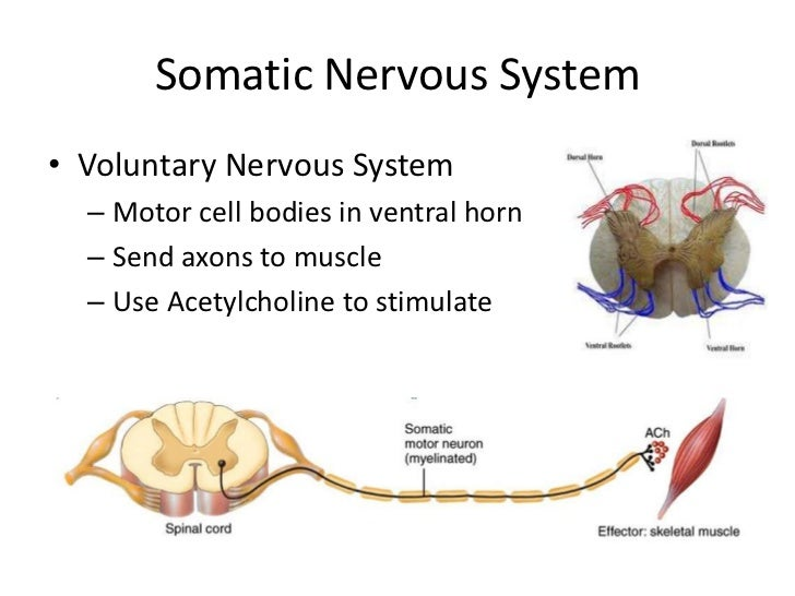 an introduction to the role of the nervous system in behaviour Sugar and human behaviour introduction  since the retention of memory is an important central nervous system function in the process of cognition,.