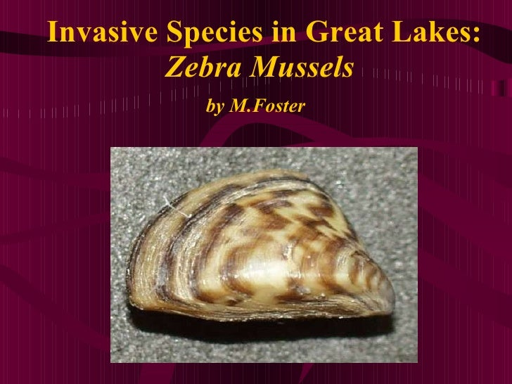 Invasive Species in Great Lakes: Zebra Mussels by M.Foster