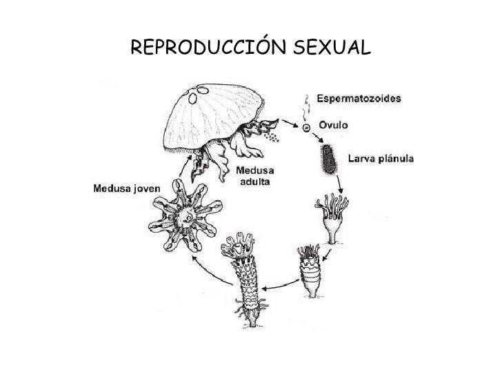 Invertebrados con reproduccion asexual