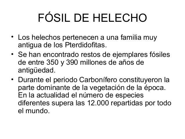 FÓSIL DE HELECHO • Los helechos pertenecen a una familia muy antigua de los Pterdidofitas. • Se han encontrado restos de e...