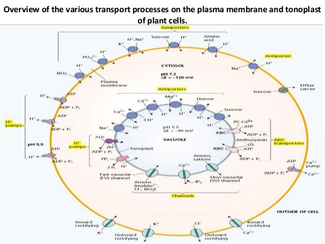 ion homeostasis in plant cells. Black Bedroom Furniture Sets. Home Design Ideas