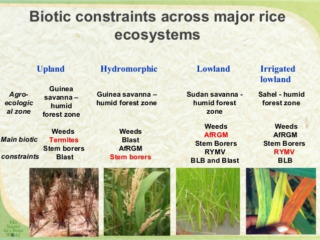 rice pest and its control Botanicals, so-called natural pesticides, are used by some farmers in an attempt to control rice pests botanicals include extracts of leaves.