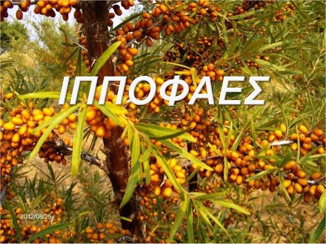 Το Ιπποφαές (Hippophae L.) είναι φυλλοβόλος θάμνος που ανήκει στην                       οικογένεια των Ελαιαγνοειδών.  Αν...