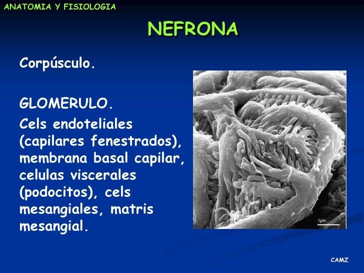 Funciones específicas del riñón<br />FUNCION EXCRETORA<br /><ul><li>Depuraciónplasmática