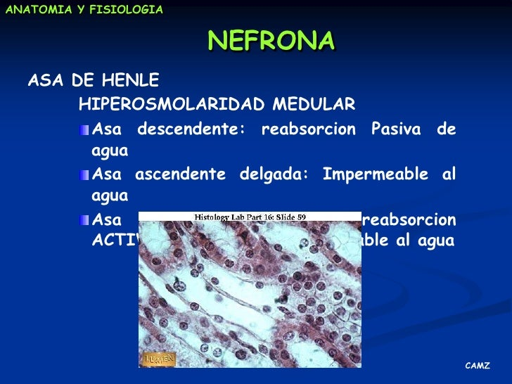 gluconeogénesis</li></ul>REGULACION DE LA PRESION ARTERIAL<br /><ul><li>Mecanismosdiversos y complementarios  de forma sos...
