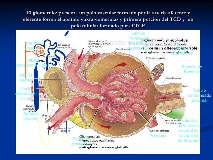 ANATOMIA Y FISIOLOGIA<br />NEFRONA<br />Corpúsculo.<br />GLOMERULO. <br />Cels endoteliales (capilares fenestrados), membr...