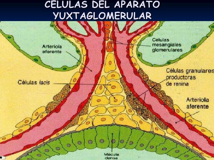 ANATOMIA Y FISIOLOGIA<br />NEFRONA<br />Corpusculo.<br />GLOMERULO<br />Funciones: producir el filtrado, gobernado por P h...