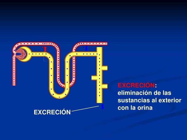 La Nefrona<br /><ul><li>Estructura: