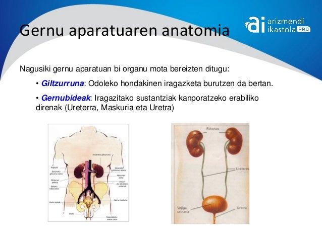 Gernu aparatuaren anatomiaNagusiki gernu aparatuan bi organu mota bereizten ditugu:    • Giltzurruna: Odoleko hondakinen i...