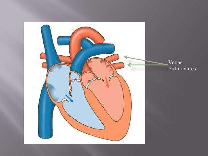 Venas <br />Pulmonares<br />