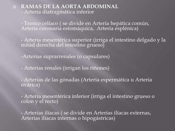 RAMAS DE LA AORTA ABDOMINAL - Arteria diafragmática inferior<br />- Tronco celíaco ( se divide en Arteria hepática común, ...