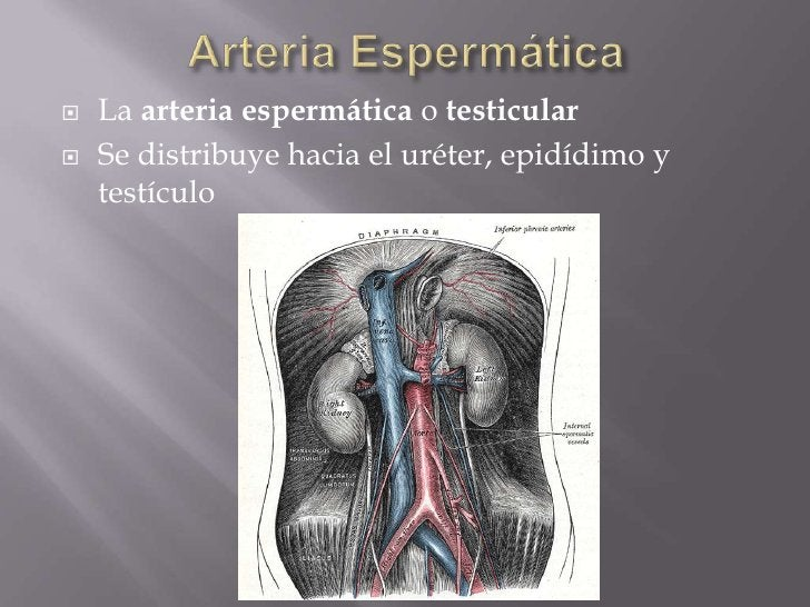 Arteria Espermática<br />La arteria espermática o testicular<br />Se distribuye hacia el uréter, epidídimo y testículo<br />