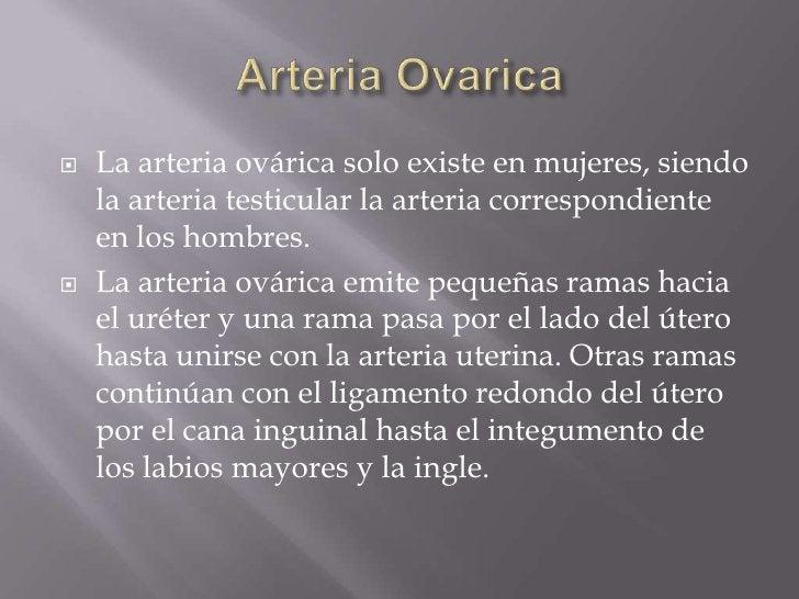 Arteria Ovarica<br />La arteria ovárica solo existe en mujeres, siendo la arteria testicular la arteria correspondiente en...