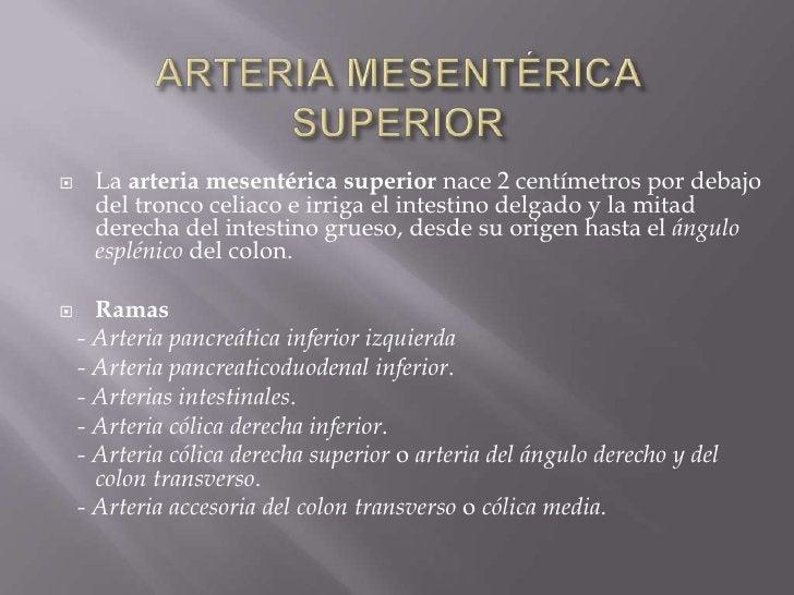ARTERIA MESENTÉRICA SUPERIOR<br />La arteria mesentérica superior nace 2 centímetros por debajo del tronco celiaco e irrig...
