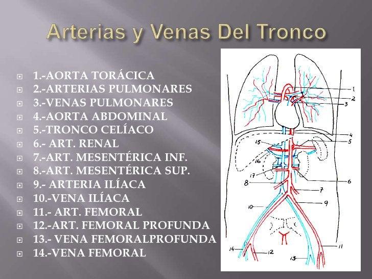 Arterias y Venas Del Tronco<br />1.-AORTA TORÁCICA<br />2.-ARTERIAS PULMONARES<br />3.-VENAS PULMONARES<br />4.-AORTA ABDO...