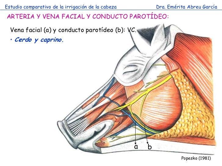 Estudio comparativo de la irrigación de la cabeza           Dra. Emérita Abreu GarcíaARTERIA Y VENA FACIAL Y CONDUCTO PARO...
