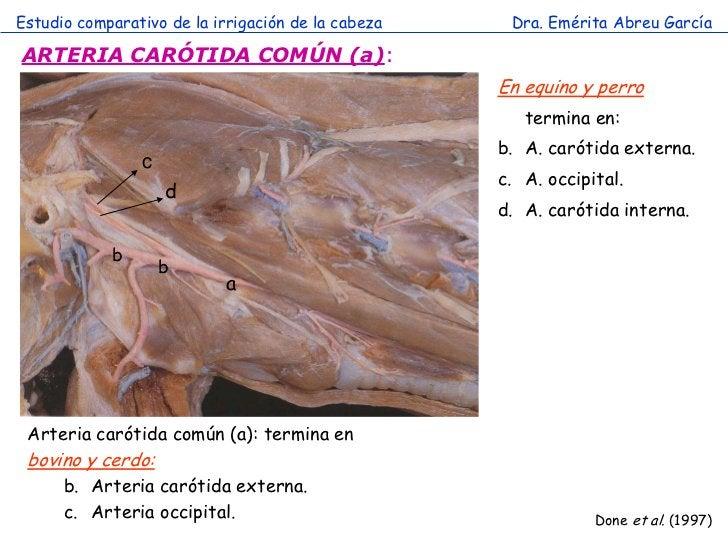Estudio comparativo de la irrigación de la cabeza    Dra. Emérita Abreu GarcíaARTERIA CARÓTIDA COMÚN (a):                 ...