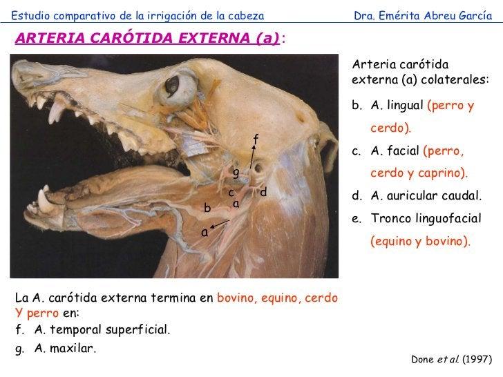 Estudio comparativo de la irrigación de la cabeza         Dra. Emérita Abreu GarcíaARTERIA CARÓTIDA EXTERNA (a):          ...