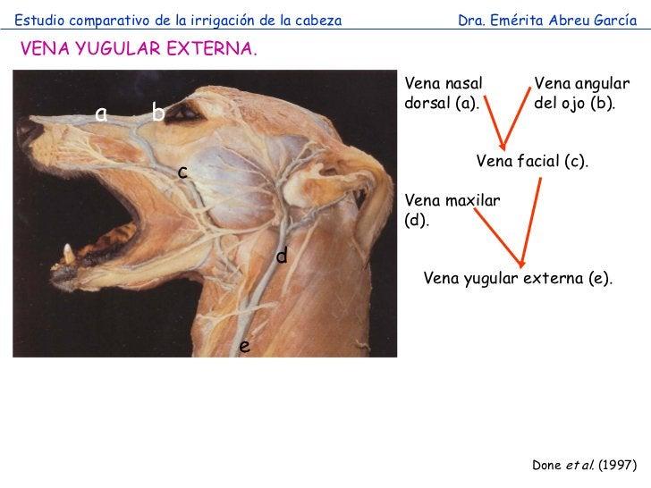 Estudio comparativo de la irrigación de la cabeza          Dra. Emérita Abreu GarcíaVENA YUGULAR EXTERNA.                 ...