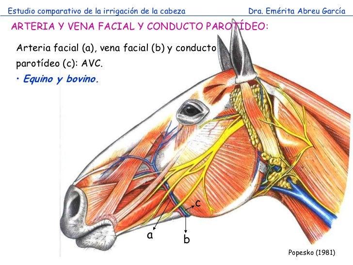 Estudio comparativo de la irrigación de la cabeza       Dra. Emérita Abreu GarcíaARTERIA Y VENA FACIAL Y CONDUCTO PAROTÍDE...