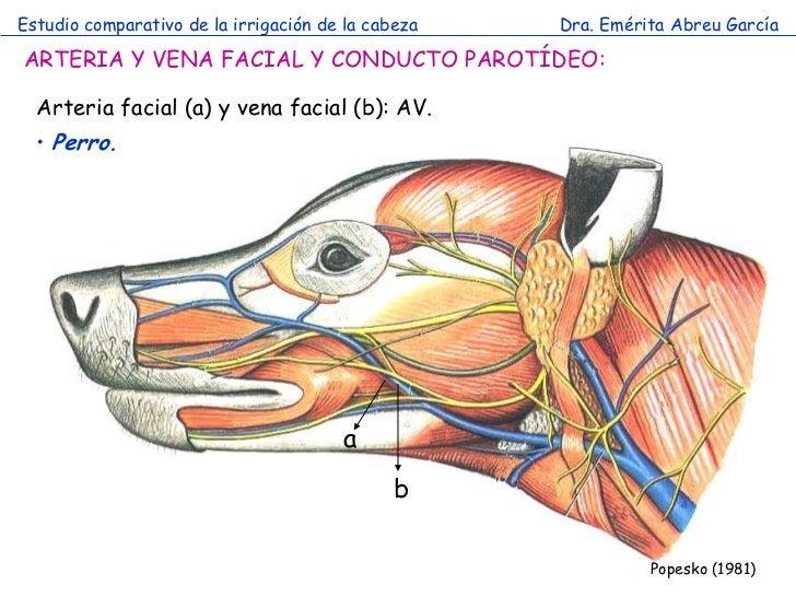 Estudio comparativo de la irrigación de la cabeza   Dra. Emérita Abreu GarcíaARTERIA Y VENA FACIAL Y CONDUCTO PAROTÍDEO:  ...