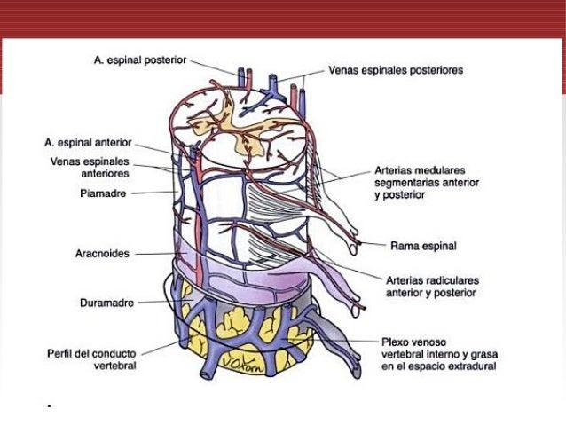 Irrigación médula espinal