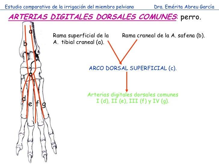 Estudio comparativo de la irrigación del miembro pelviano      Dra. Emérita Abreu García ARTERIAS DIGITALES DORSALES COMUN...