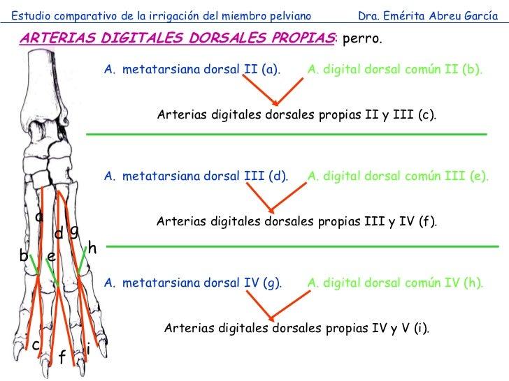 Estudio comparativo de la irrigación del miembro pelviano       Dra. Emérita Abreu García ARTERIAS DIGITALES DORSALES PROP...