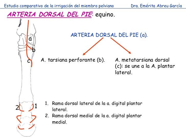 Estudio comparativo de la irrigación del miembro pelviano          Dra. Emérita Abreu García ARTERIA DORSAL DEL PIE: equin...