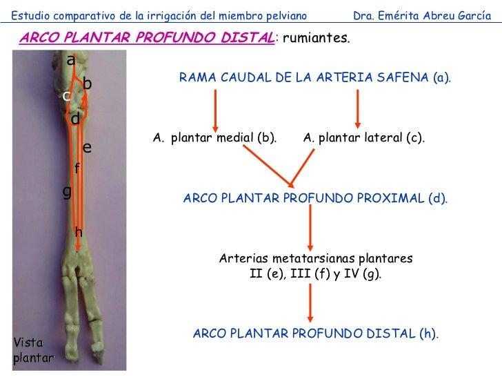 Estudio comparativo de la irrigación del miembro pelviano        Dra. Emérita Abreu García ARCO PLANTAR PROFUNDO DISTAL: r...