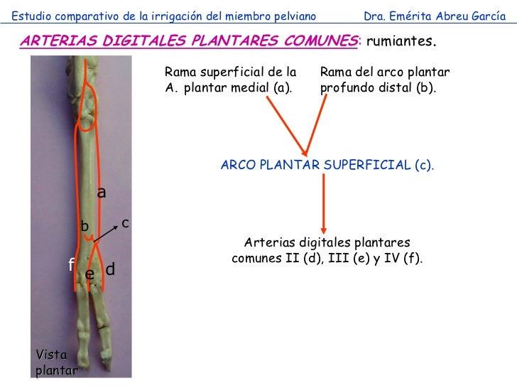 Estudio comparativo de la irrigación del miembro pelviano         Dra. Emérita Abreu García ARTERIAS DIGITALES PLANTARES C...