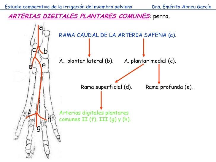 Estudio comparativo de la irrigación del miembro pelviano           Dra. Emérita Abreu García ARTERIAS DIGITALES PLANTARES...
