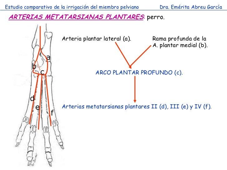 Estudio comparativo de la irrigación del miembro pelviano          Dra. Emérita Abreu García ARTERIAS METATARSIANAS PLANTA...